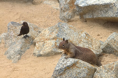 IMG_0253_255 Squirrel HDR (vicjuan) Tags: 20170625 美國 usa 加州 california montereycounty hdr tonemapping pebblebeach geotagged geo:lat=36591925 geo:lon=121964157 鳥 bird 松鼠 squirrel
