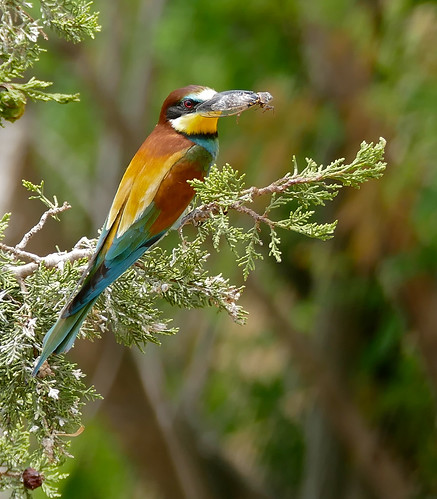 European Bee-eater (Merops apiaster) with a cicada in its bill ...
