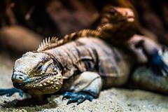 Iguanas (James Jacques) Tags: sony a7 70200 fe f4 light shadow reptile lizard iguana animal wildlife nature praha prague zoo texture