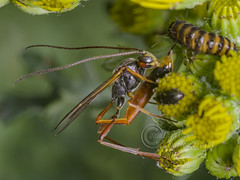_IMG9481 Ichneumon Wasp  predating a Cinnabar Moth Caterpillar (Pete.L .Hawkins Photography) Tags: ichneumon wasp attempting predate cinnabar moth caterpillar petehawkins petelhawkinsphotography petelhawkins petehawkinsphotography pentax 100mm macro pentaxpictures pentaxk1 fantasticnature fabulousnature incrediblenature naturephoto wildlifephoto wildlifephotographer naturesfinest unusualcreature naturewatcher insect invertebrate bug 6legs compound eyes creepy crawly uglybug bugeyes fly wings eye veins flyingbug flying