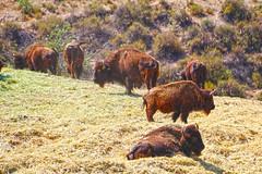The national mammal of the United States. (Alexandra Rudge. Wishing you happiness!!!) Tags: alexandrarudge alexandrarudgephotography alexandrarudgeimages animales animalia animals alexandrarudgeanimals bison americanbison mammalia mamifero nature naturaleza williamshartpark buffalo bufalo bisonte artiodactyla bovidae bovino bovinae bovini bisonbison bbison americanbuffalo faunaofthegreatplains vulnerablefaunaoftheunitedstates nationalsymbolsoftheunitedstates kansasofficialstatemammal oklahomaofficialstatemammal wyomingofficialstatemammal buffalonickel wyomingusesabisoninitsstateflag the1935buffalonickel firstpostagestampwithimageofbisonwasissuedusin1898 series190110legaltenderdepictingmilitaryexplorersmeriwetherlewiswilliamclarkandanamericanbison bisonatwilliamhartparksantaclaritacalifornia alexandrarudgebison thenationalmammaloftheunitedstates bufaloamericano fauna faunadenorteamerica faunadecalifornia faunacaliforniana faunasilvestre faunanorteamericana canon californiawildlife californiafauna losangeleswildlife losangelesfauna usafauna unitedstatesfauna southerncaliforniawildlife southerncaliforniafauna