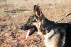 Awake (Rushay) Tags: 50mm alsatian animal canine dog germanshepherd headshot jaw leash nikond810 pet portelizabeth southafrica tongue