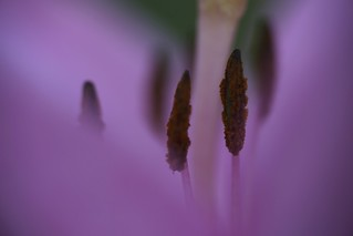 Macro shot of lily