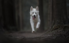 The Ghost (aliceloder@googlemail.com) Tags: dog wolf action husky alsation pet portrait photography proffessional white fluffy running woodland natural light doginaction doginmotion dogportrait dogportraiture
