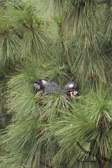 Carnaby's Black Cockatoo - Calyptorhynchus latirostris (Wildsearch) Tags: bird calyptorhynchuslatirostris carnabysblackcockatoo endangered perth threatenedspecies wa