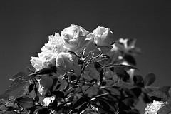 Kiev2-agfa025 (salparadise666) Tags: kiev iia 2a jupiter 11 135mm apx 100 caffenol nils volkmer vintage camera russian rangefinder flower perspective rose detail bw black white monochrome
