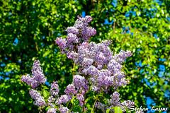 Syringa Vulgaris (Salmix_ie) Tags: finland ostrobotnia maj june 2017 nikon nikkor d500 interesting variety syringa vulgaris