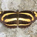 The Great Hockeystick Sailor (Antonio Giudici Butterfly Trips) Tags: