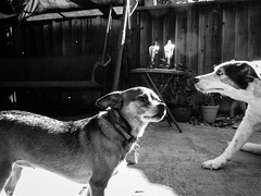 20/365 What up dog? (daveparker) Tags: ricky brownie dogs dog 365 project365 dave parker tracy california ca usa bw