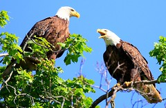 bald eagles at Decorah Fish Hatchery IA 854A5077 (lreis_naturalist) Tags: bald eagles decorah fish hatchery winneshiek county iowa larry reis