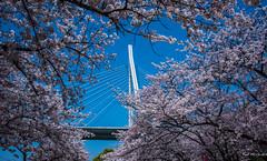 2017 - Japan - Osaka - Sakura - 11 of 25 (Ted's photos - For Me & You) Tags: 2017 cropped japan kyoto nikon nikond750 nikonfx osaka tedmcgrath tedsphotos vignetting sakura blossoms tempozanbridge cherrytree cherryblossom bridge tempozan tempozanpark osakajapan cables