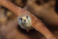 """In...Your...Face"" (Meadowbellphotography.com) Tags: nankeenkestrel kestrel birds falcon birdsofprey raptors australianbirds australian wildlife"