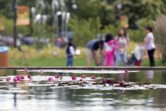 summer fun (Lucie Maru) Tags: summer pond water waterlillies flowers park enjoy summertime redflowers lilies waterlilies bokeh focusonforeground blurred blurredbackground colors viabrantcolors vividcolor