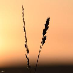 Contre jour matinal !! (thierrymazel) Tags: nature contrejour herbe graminée bokeh profondeurdechamp pdc dof