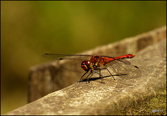 Ruddy Darter (Sympetrum sanguineum) . (pete Thanks for 5 Million Views) Tags: hwcp bokeh butterfly canon lumix macro moth rebel ruddy darter sympetrum sanguineum common wickedweasel colchester stock