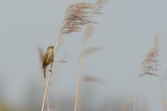 HNS_2238 Rietzanger :  : Acrocephalus schoenebaenus : Schilf-Rohrsanger : Sedge Warbler