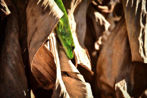 Green Day Gecko