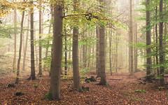 Foggy Autumn Forest (Netsrak) Tags: baum eu eifel europa europe forst landschaft natur nebel wald fog landscape mist nature tree trees woods bäume autumn herbst foggy misty