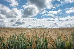 Summer (Jorden Esser) Tags: nederlandvandaag netherlands clouds field grain harvest hass hss landscape sky sliderssunday limburg layers