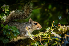 Oh.. Look, A Squirel ! (mike.cowan112) Tags: animal squirel wood tree wildlife