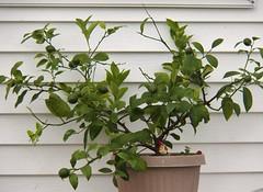 lemon tree very pretty... (MissyPenny) Tags: lemon plant green garden bristolpennsylvania usa