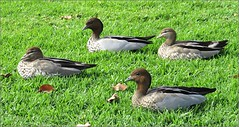 Sitting Ducks (Mary Faith.) Tags: ducks australia adelaide birds water sitting four group nature two pair