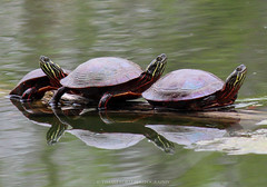 Painted Turtles (timaliloku) Tags: basking canada chrysemyspicta colorful freshwater nature paintedturtles photography pond reptilesontario resting restingonlog striped turtlesinontario wild wildlifeontario