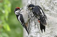 The reprimand / De reprimande (Eric Tilman) Tags: great spotted woodpecker grote bonte specht dendrocopos major the reprimand de reprimande nikon d500 200500mm bird nature mother son moeder en zoon