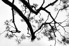 shape (withcamera) Tags: pinusdensiflora koreanredpinepinus beautyofkorea seoul namsanpine 상록침엽nikon nikondf 24~70lens namsan southkorea 남산 한국의미 소나무 서울
