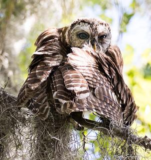 Young Barred Owl (Strix varia)