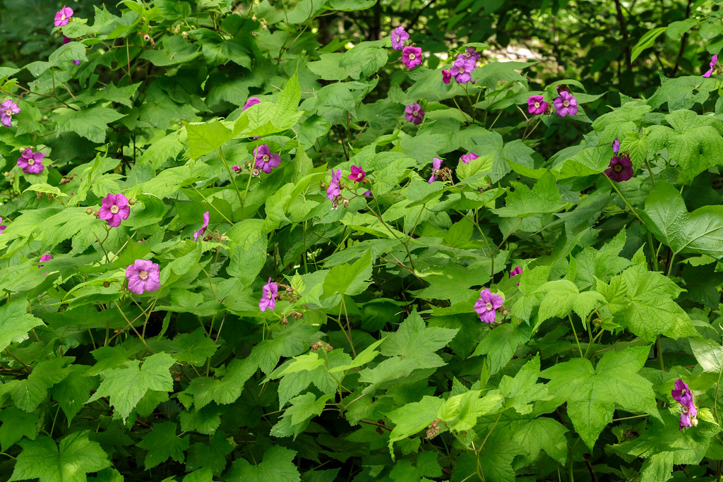 Rubus odoratus (purple-flowering raspber by tgpotterfield, on Flickr