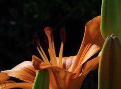 Lys orange (bd168) Tags: lys fleurs flowers daylily summer été olympus m14150mm orange closeup nature