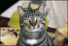 Mushi. (anna punx) Tags: cat gato animal tiger atigrado tabby m greeneyes ojos verdes rayas stripes portrait