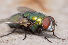 Greenbottle (Rich Lukey) Tags: fly insect green bottle greenbottle nikon d7100 55200mm kenko achromatic macro closeup