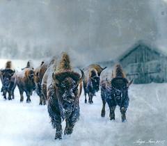 Just Passing Through... (rubyblossom.) Tags: angiesanimalantics no18 animals in wqinter bison buffalo snow storm cold shack outbuilding rubyblossom rubystreasures 2017