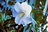 Winter Bloom! (maginoz1) Tags: abstract art contemporary manipulate curves roses flowers white yello bullarosegardenalisterclark melbourne victoria australia july 2017 canon 100d