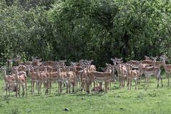 Just looking! (tmeallen) Tags: impala females largeherd savanna grassland rainyseason lonemale antelopes aepycerosmelampus earsalert wild wildlife safari grumetigamereserve serengeti tanzania eastafrica