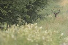 Le fantôme (Eric Penet) Tags: mormal mammifère wildlife wild france faune forêt locquignol animal sauvage avesnois forest été juillet summer mammal cerf cervidé deer stag cerfelaphe cerfélaphe cervus élaphe elaphus mâle