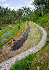 The terraced rice fields, Bali island, Tampaksiring, Indonesia (Eric Lafforgue) Tags: agricultural agriculture angle asia asian bali bali1755 balinese beautiful breathtaking countryside crops cultivated cultivation culture farming farmland fields green growing indonesia indonesian irrigation landscape lush nature nopeople outdoors paddies pakerisan palmtrees rice ricefields ricepaddies riceterraces rural scenery scenic southasian tampaksiring terrace terracefarming terraced terraces terracing unescoworldheritagesite vertical view baliisland
