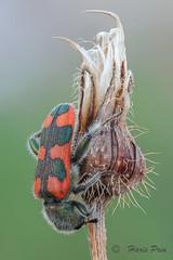 Trichodes (Haris Prin) Tags: sonyilce7m2 canonmpe65 metabonessmartadaptermarkiv fieldstack zerenestacker naturallight coleoptera cleridae trichodes macro