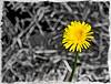 Dandelion_7020065 (Jonathan Irwin Photography) Tags: dandelion on the north yorkshire moors produced using jixipix