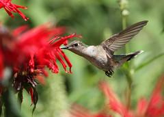 RTHB on Monarda (hennessy.barb) Tags: rthb rubythroatedhummingbird archilochuscolubris hummingbird flight flying hovering monarda beebalm biltmore biltmoreestate biltmoregardens bird nature wildlife biltmoreblooms