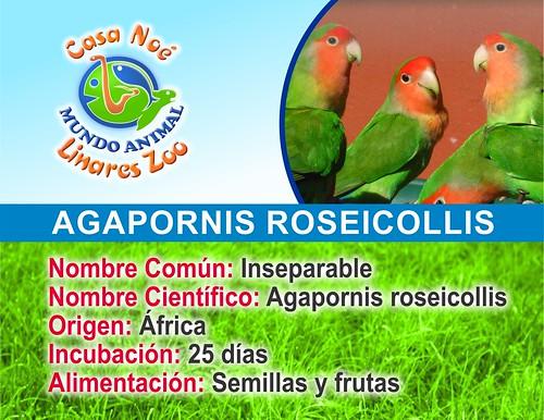 inseparable roseicollis