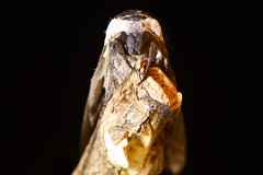 Privet hawk-moth (Sphinx ligustri) head on on black (Ian Redding) Tags: british european lepidoptera sphingidae sphinxligustri uk atrest camouflaged eyes fauna hawk hawkmoth headon insect invertebrate large largest moth privethawk privethawkmoth rostrum wood
