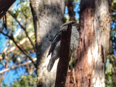Kookaburra sits in the old gumtree. (sander_sloots) Tags: dandenong ranges national park kookaburra bird gumtree mountain ash boom gomboom eucalyptus tree