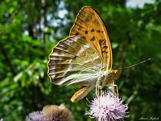 Butterfly 1363