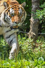 Jupiter walking (stephanieswayne1) Tags: animal wild cat endangered large beautiful stripes nose whiskers teeth mouth looking body portrait profile face eyes feet walking big adult male tiger amur