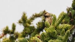 Record shot of Boreal Chickadee (Poecile hudsonicus) - Hedley, BC (bcbirdergirl) Tags: elusive chickchick tomtit fillady hudsonianchickadee acadianchickadee browncappedchickadee borealchickadee apexmountain nordicskihills km17 hedley bc boreal alpine finally toughbirdinsouthernbc poecilehudsonicus hardtofindinsummerinsouthernbc recordshot beaconsfieldmountain rare uncommon elevation2177m