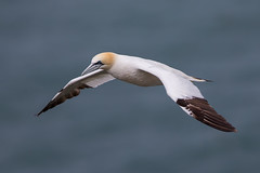 Gannet (Simon Stobart) Tags: flying northengland coat sea gannet bird ngc npc sunrays5