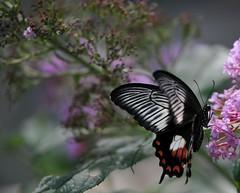 parliamo di eleganza... (andrea.zanaboni) Tags: luci light colori colors eleganza danza farfalla butterfly nikon macro